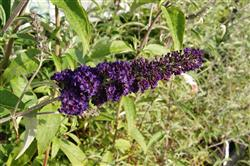 Buddleia d. 'Empire Blue'