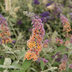 Buddleia d. 'Flower Power'