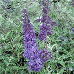 Buddleia d. 'Nanhoe Blue'