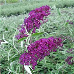 Buddleia d. 'Nanhoe Purple'
