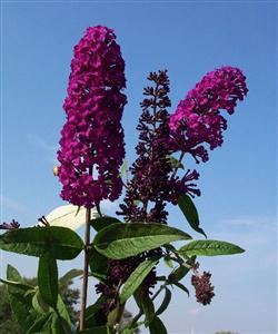 Buddleia d. 'Royal Red'