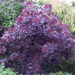 Cotinus c. 'Royal Purple'
