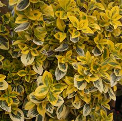 Euonymus f. 'Emerald Gold'