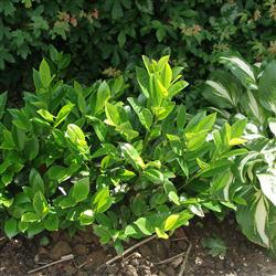 Prunus lau. 'Piri'
